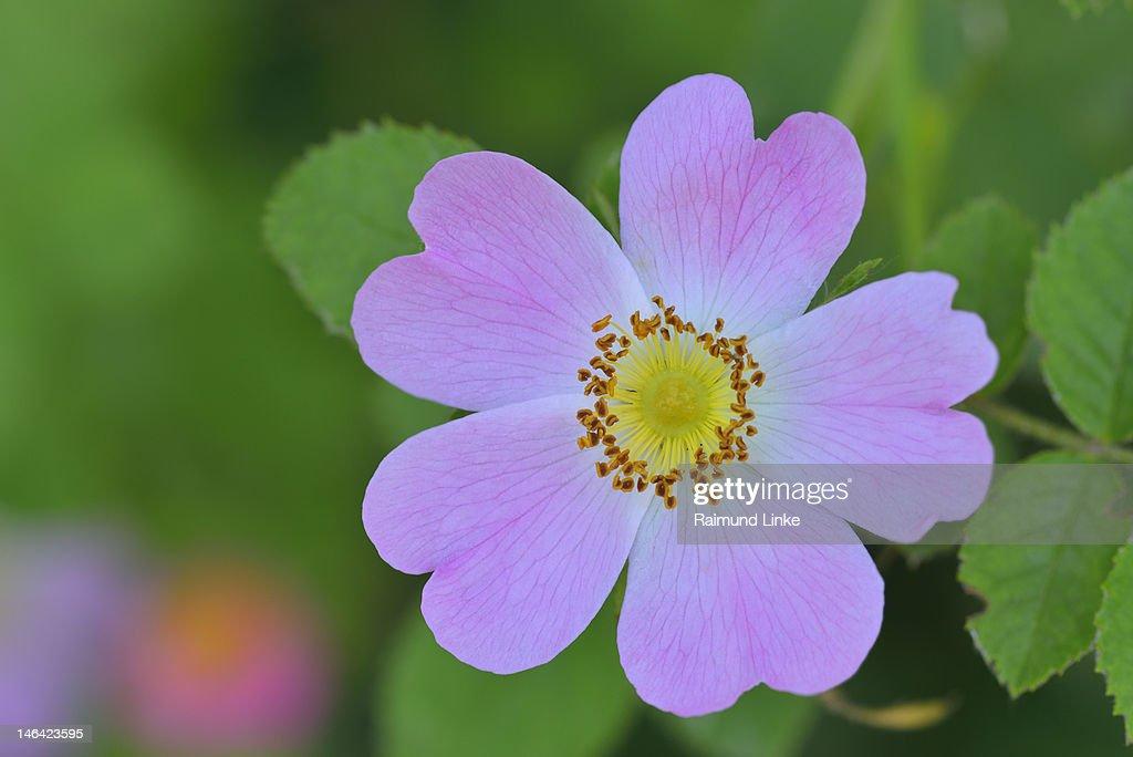Wild Rose : Stock Photo
