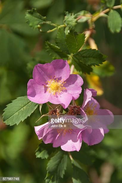 Wild rose, pink flower