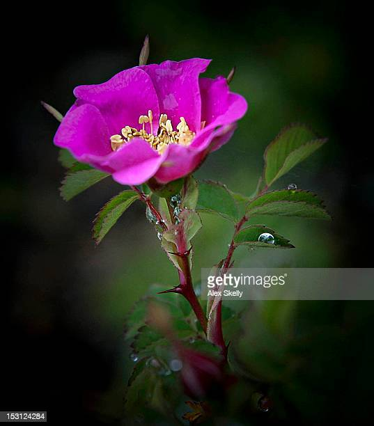 Wild rose with droplets