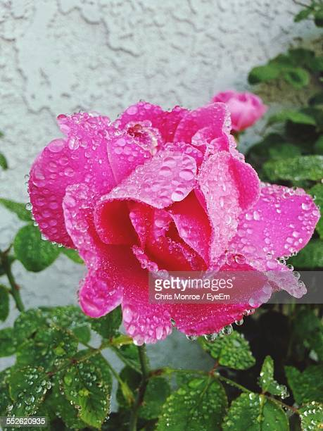 Wild Rose With Water Drops