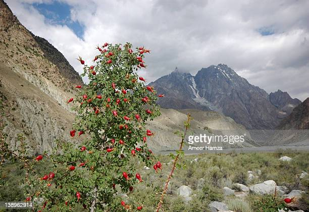 Wild roses with mountain