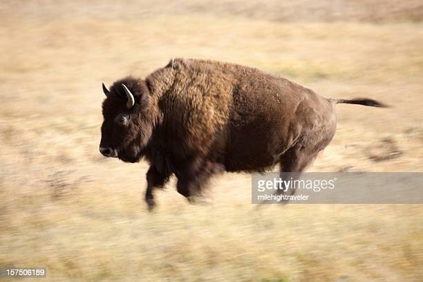 Wild Running Bison in Wyoming