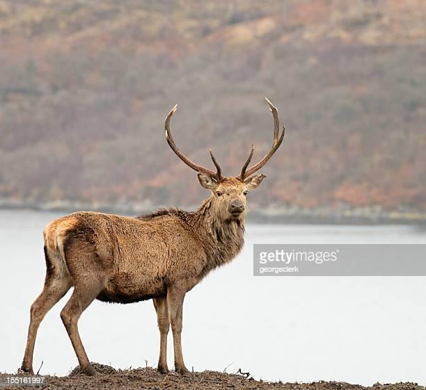 Wild Scottish Red Deer Stag