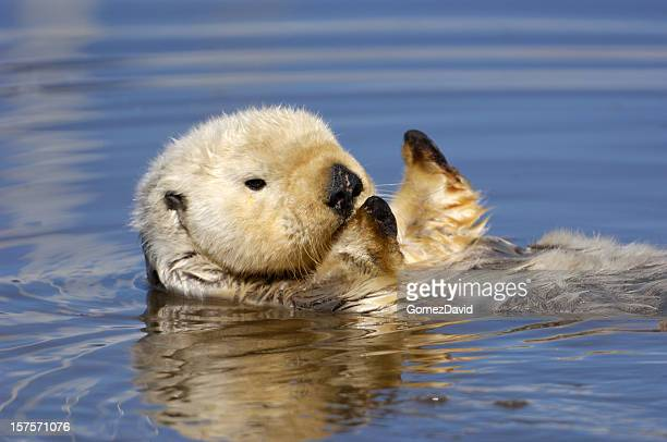 Wild Sea Otter Resting in Calm Ocean Water
