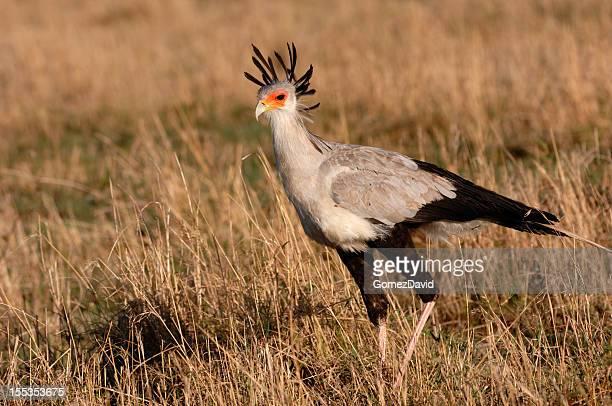 African Grassland Birds Secretary Bird Stock P...
