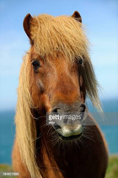 Wild Shetland Pony Portrait