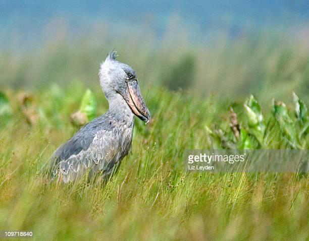 Wild Shoebill - Mabamba Swamp, Uganda