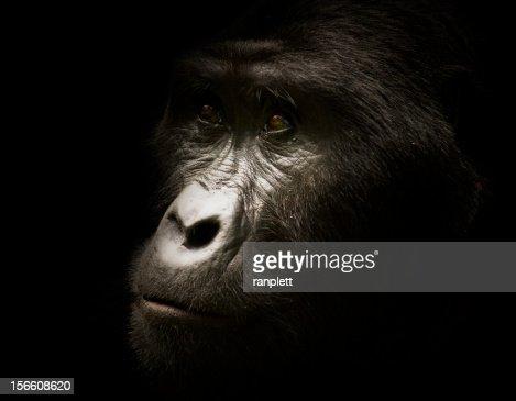 Wild Silverback Gorilla Portrait