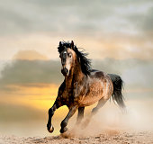 wild stallion in a dust