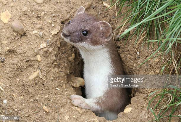 A wild Stoat emerging from it's burrow.