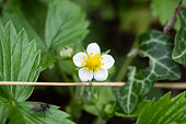 Wild strawberry (Fragaria vesca) flower in bloom in springtime.
