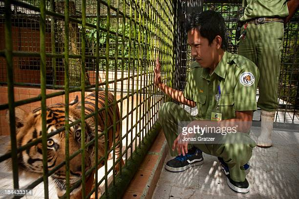 Wild Sumatran tigers are often in danger because of human conflict here at Taman Safari they have been given a tiger sanctuary The Sumatran tiger...