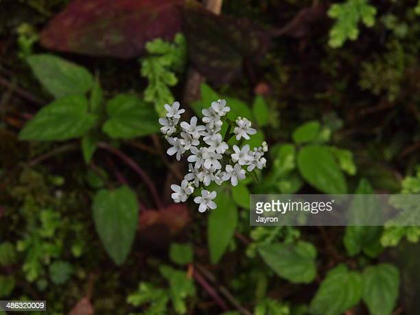 Wild taiwan valerian flower