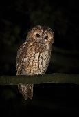UK, Wild Tawny Owl on branch at night