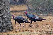 Turkey at Santa Barbara forest