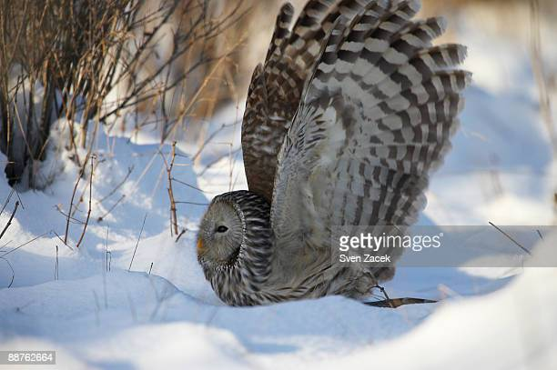 Wild Ural owl (Strix uralensis) in snow, wings outstretched, Estonia