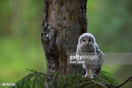 Wild Ural owlet (Strix uralensis) on branch, Estonia