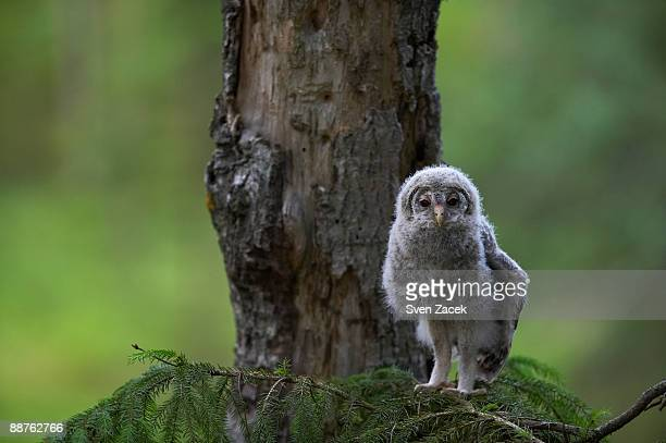 Wild Ural owlet (Strix uralensis) on branch, Estonia