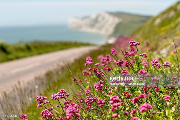 Wild Valerian growing on the Road to Freshwater