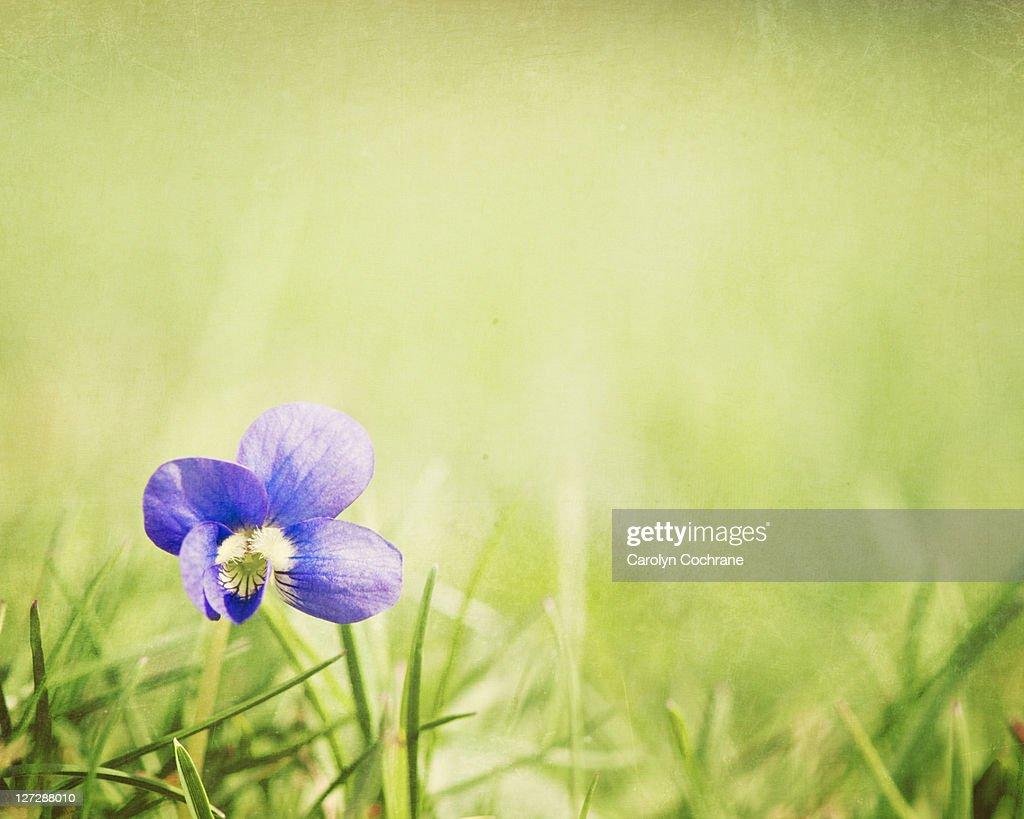 Wild violet flower in grass