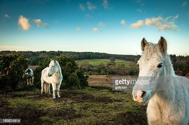 Wild White horses, The New Forest, England