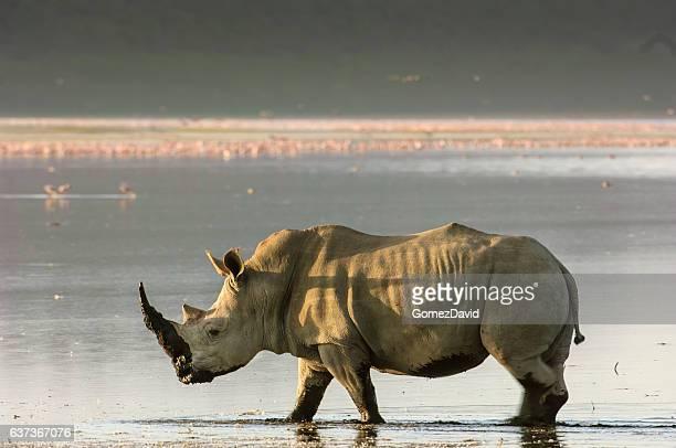 Wild White Rhino Walking on Shore of Lake Nakuru