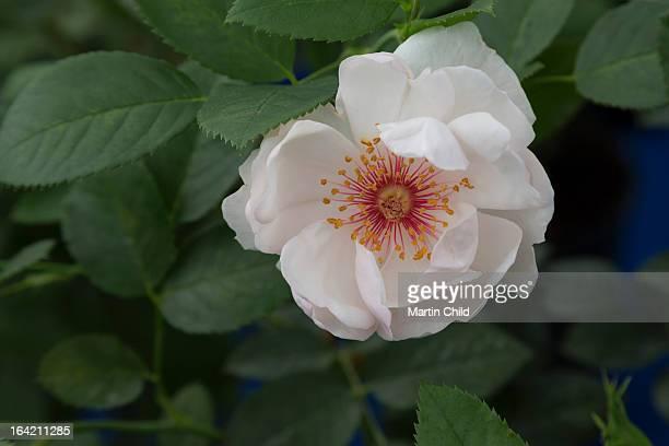 wild white rose flower