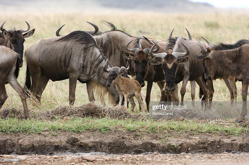 Wild Wildebeest Gathered Around a New Born Baby : Stock Photo