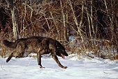Wild wolf in the snow