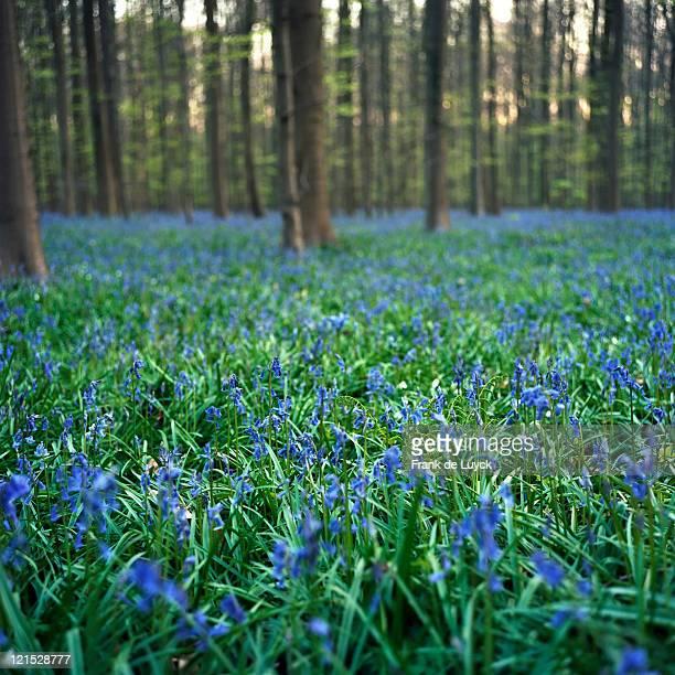 Wild Wood Bluebells (Hyacinthoides non-scripta, synonym: Scilla non-scripta), Hallerwoods, Halle, Flemish Brabant, Belgium.