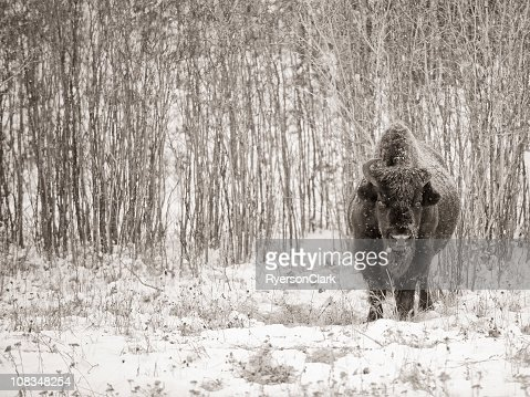Wild Woodland Bison, Yellowknife Northwest Territories. : Stock Photo