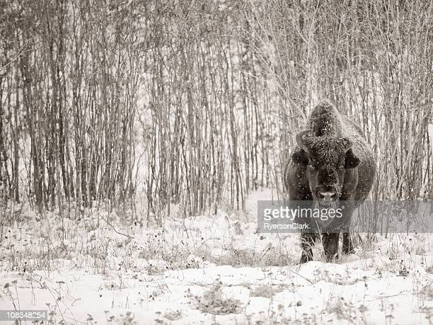 Wilde Wald Bison, Yellowknife Nordwest-Territorien.