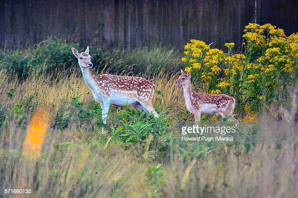 Wild yellow flowers and fallow deers
