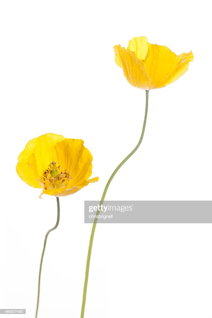 wild yellow poppies : Stockfoto
