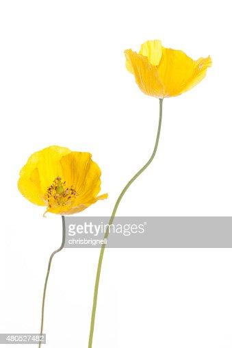 wild yellow poppies : Stock Photo