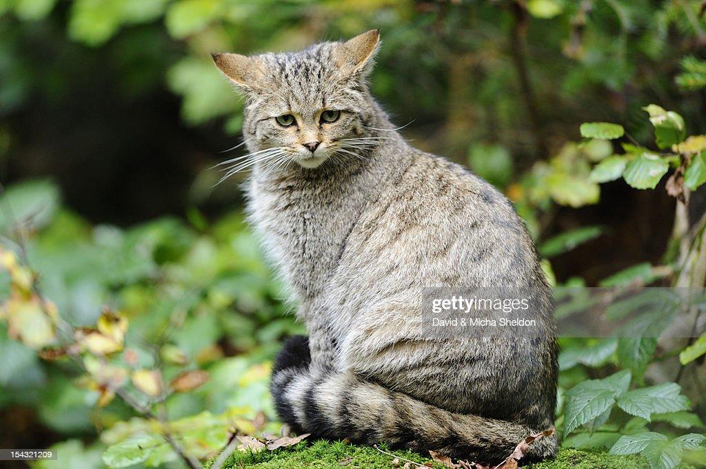 Wildcat (Felis silvestris) sitting