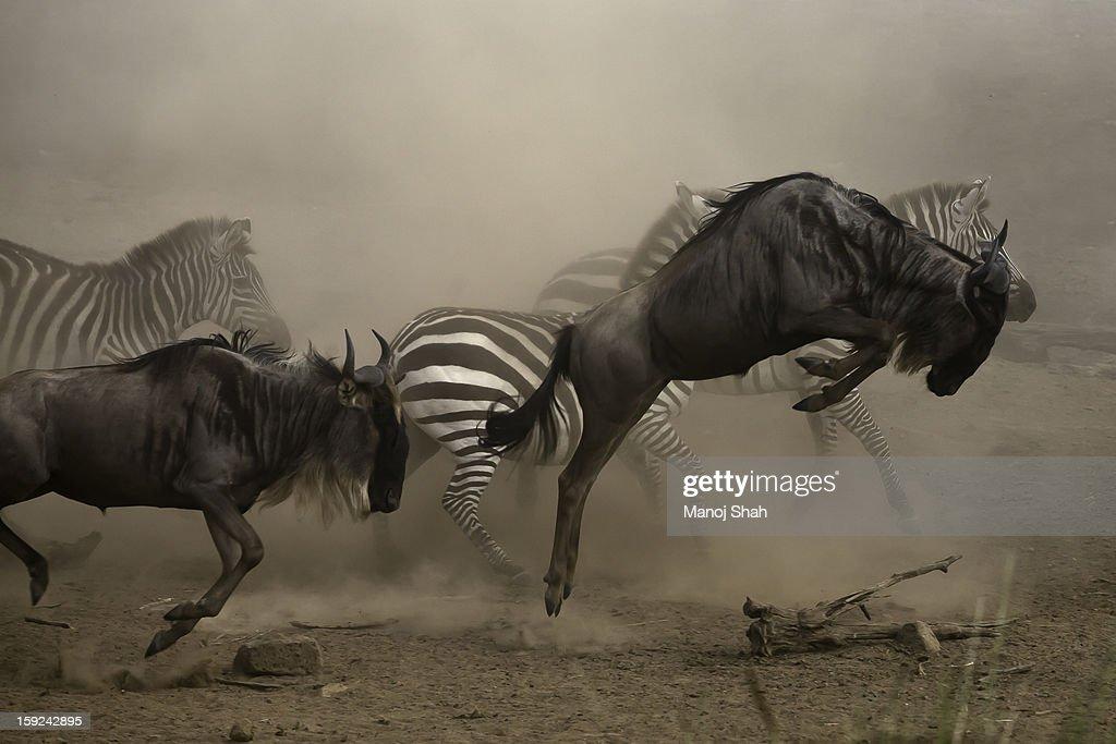 wildebbest and Zebra running : Stock Photo
