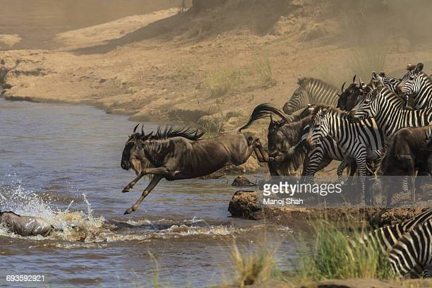 Wildebeest and Zebras jumping