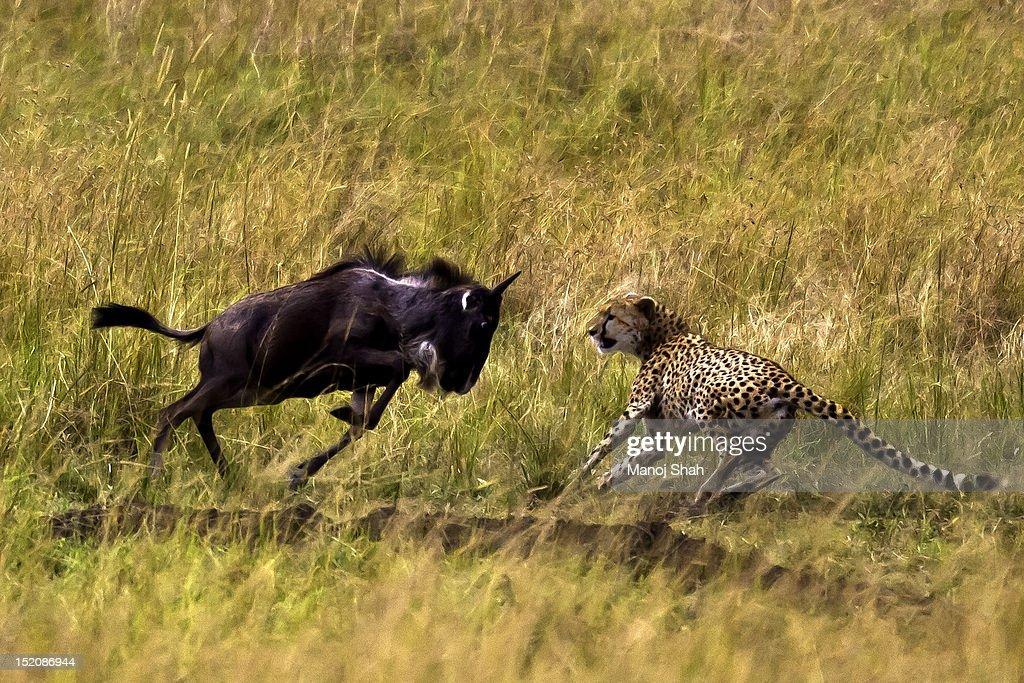 Wildebeest Calf resisting cheetah attack : Stock Photo