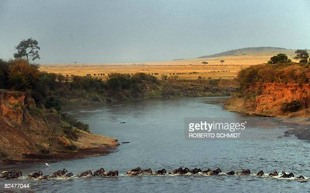 Wildebeest cross the Mara River during their annual migration through the Massai Mara National park in Western Kenya on August 15 2008 According to...
