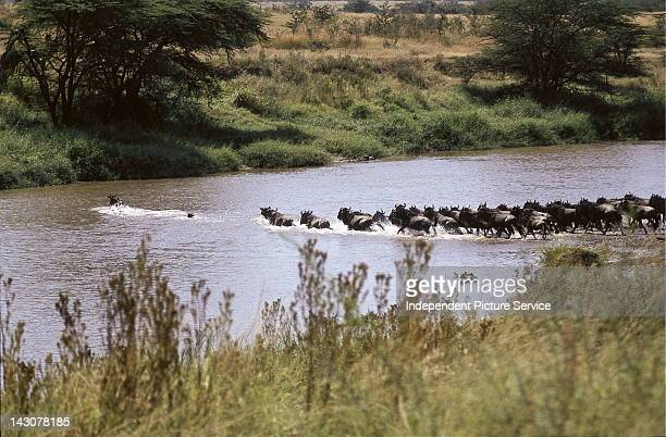 Wildebeest crossing a stream in the Serengeti National ParkTanzania