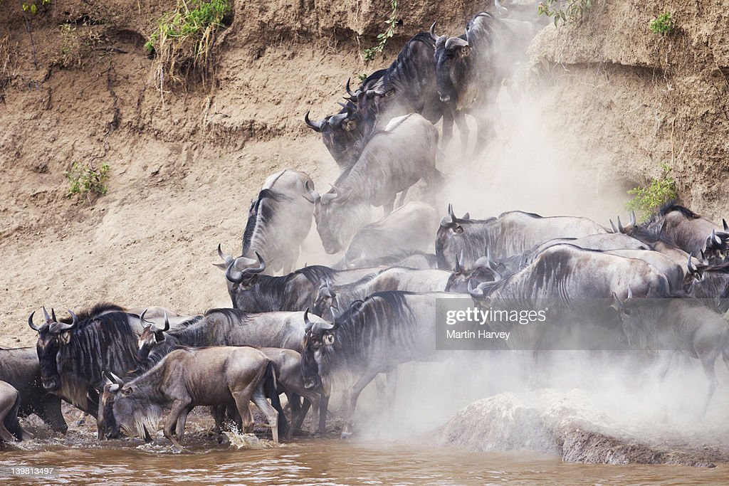 Wildebeest (Connochaetes taurinus) crossing the Mara River, Masai Mara National Reserve, Kenya, Africa : Stock Photo