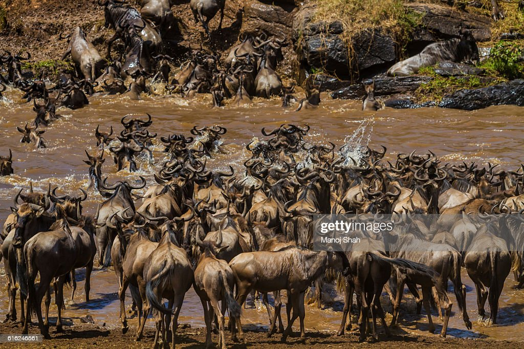 Wildebeest crossing the Mara River : Stock-Foto
