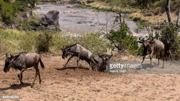 Wildebeest exiting the Mara River