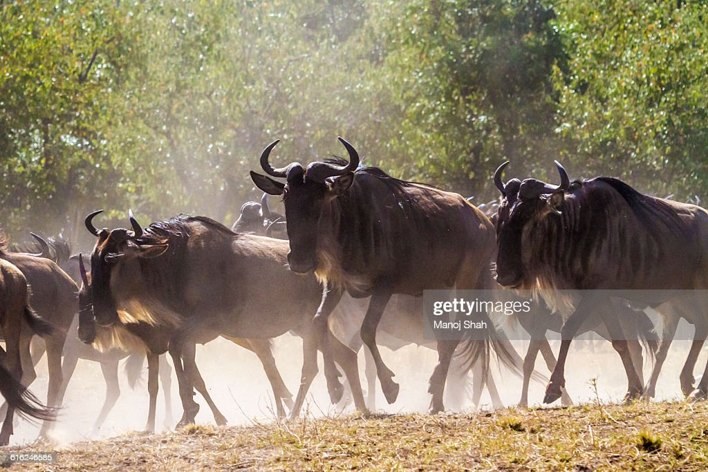 Wildebeest going to the crossing : Foto de stock