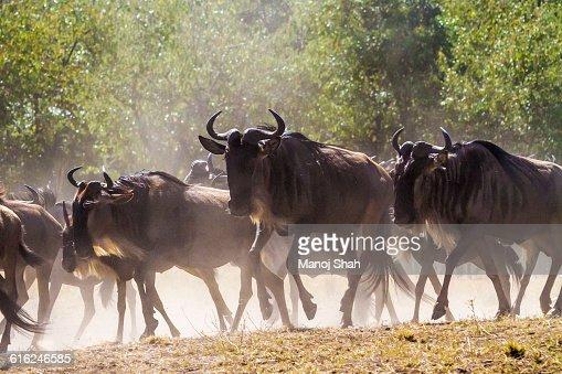 Wildebeest going to the crossing : Foto de stock
