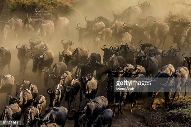 Wildebeest herd at the crossing