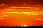 Wildebeest herd silhouetted on horizon at sunrise