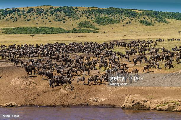 Wildebeest herds gather at the Mara River crossing