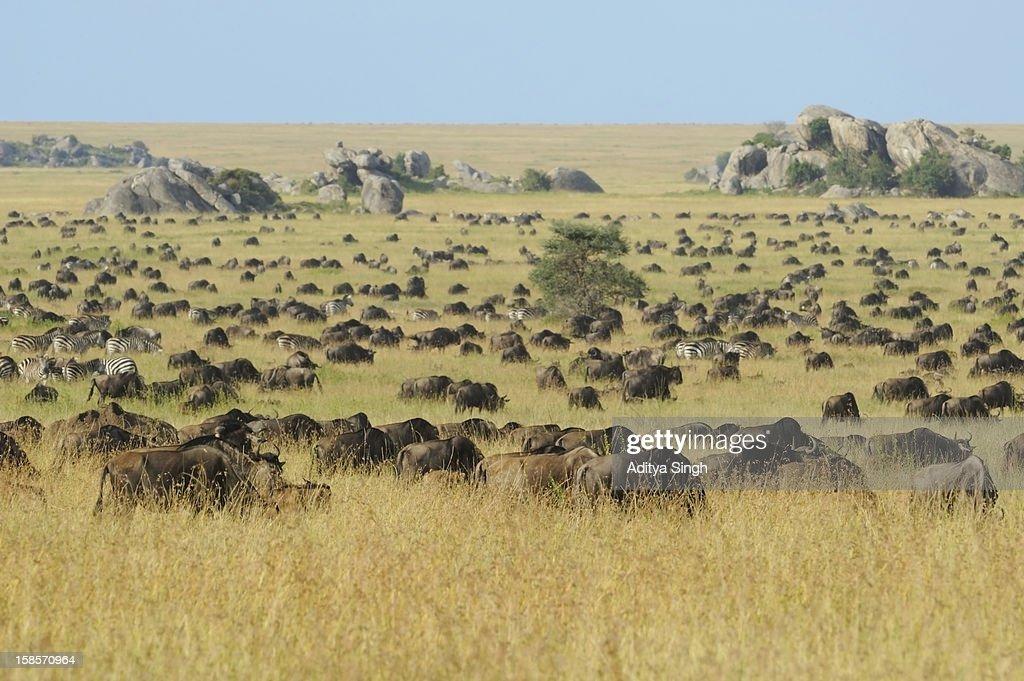 Wildebeest herds in the Plains of Serengeti : Stock Photo
